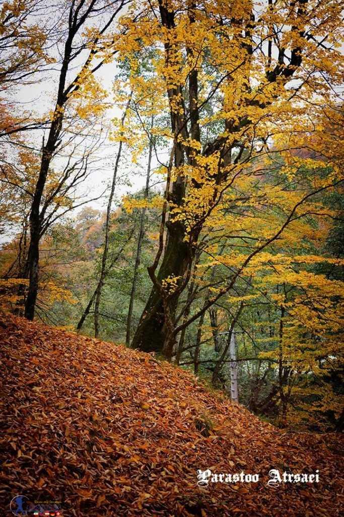 درختان زرد پارک جنگلی ناهارخوران