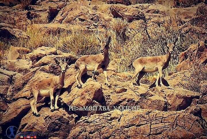 بزغاله ها در پارک ملی قطروییه
