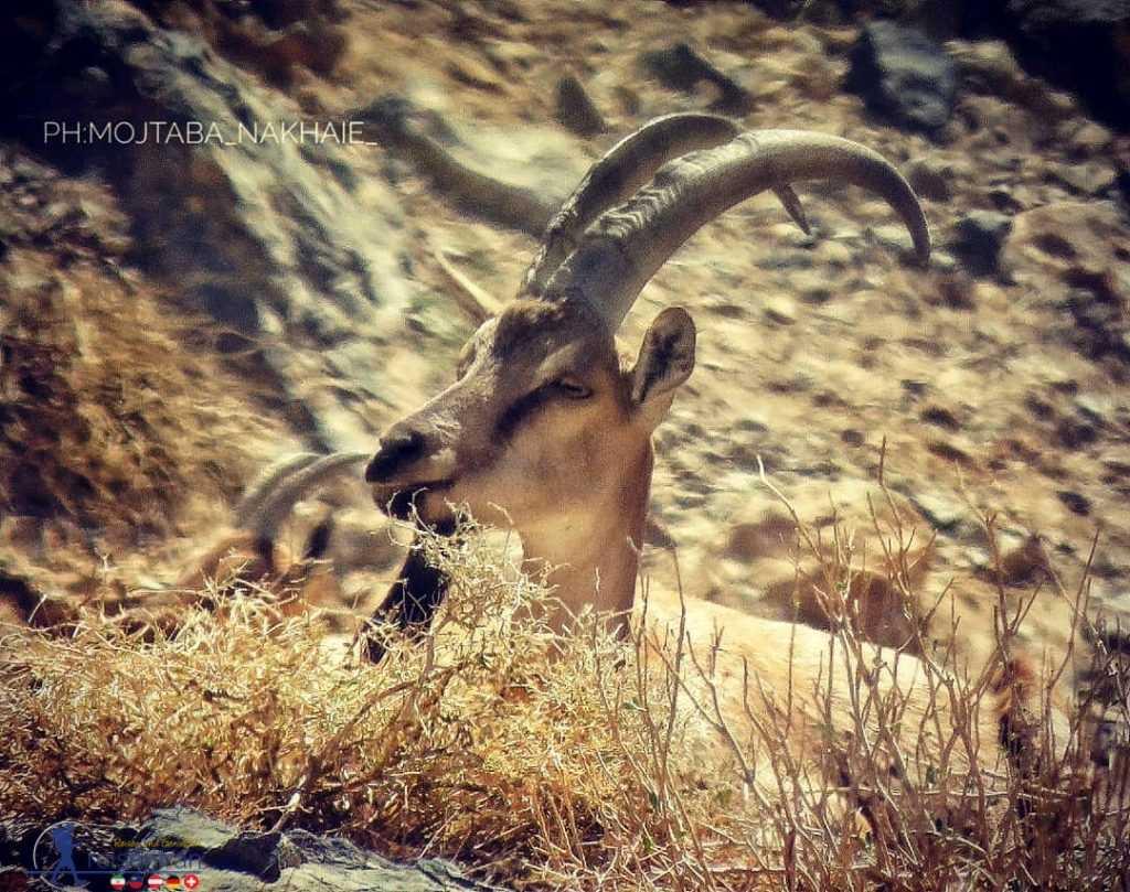 کل در منطقه شکار ممنوع سیرجان