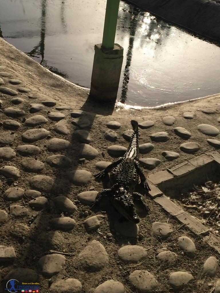 تمساح پوزه کوتاه