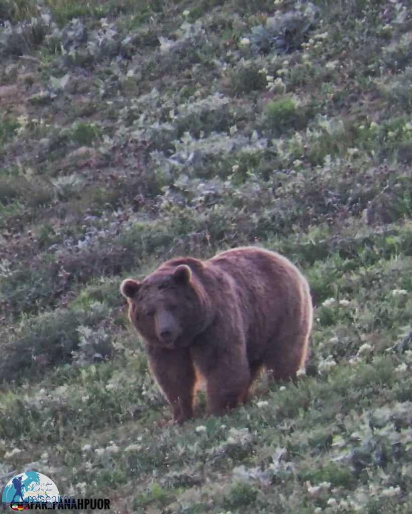 خرس قهوه ای ایران
