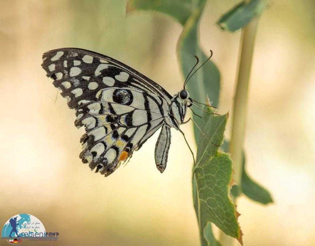 تغذیه پروانه