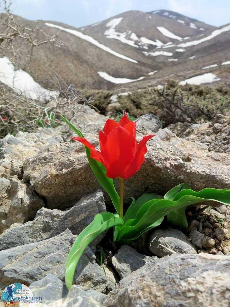 رویش گل لاله بعد از آب شدن برف