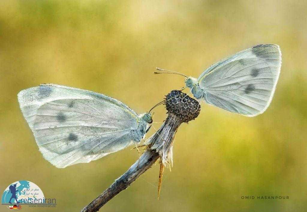 زوج پروانه