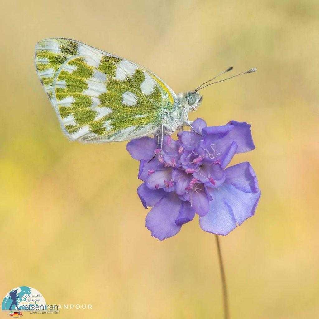 پروانه روی گل