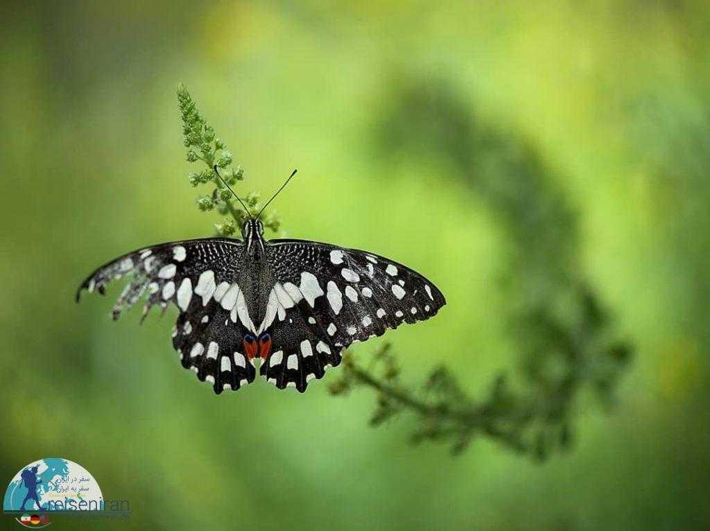 پروانه زخمی