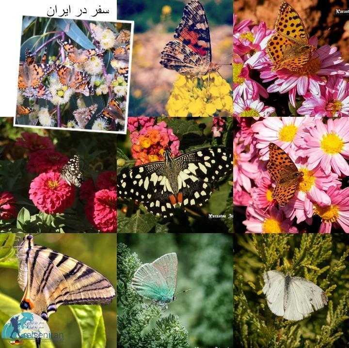 پروانه های ایران