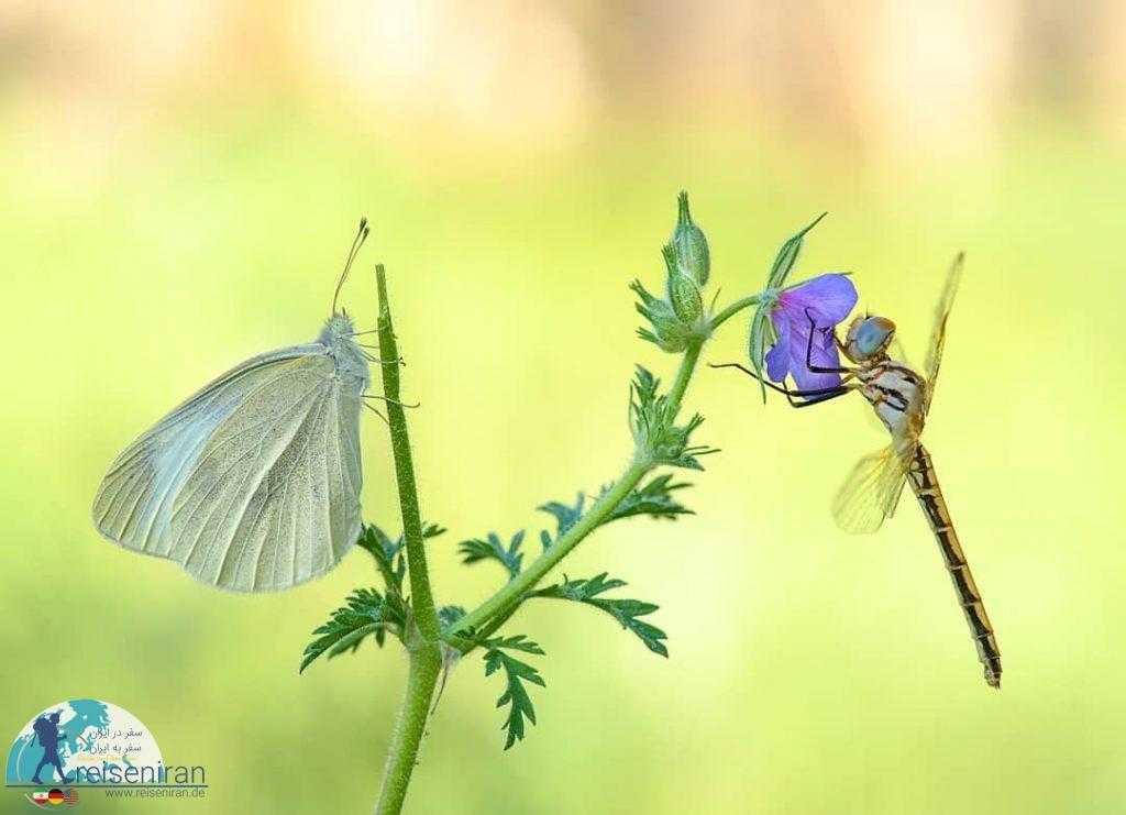 پروانه و سنجاقک