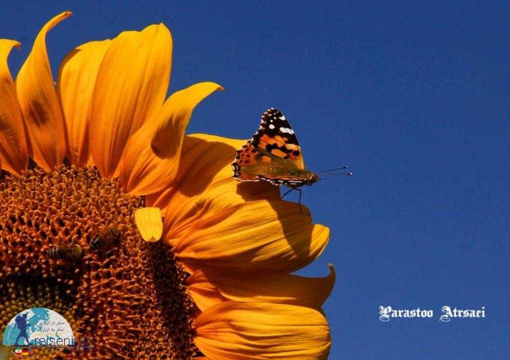 پروانه و گل و زنبور