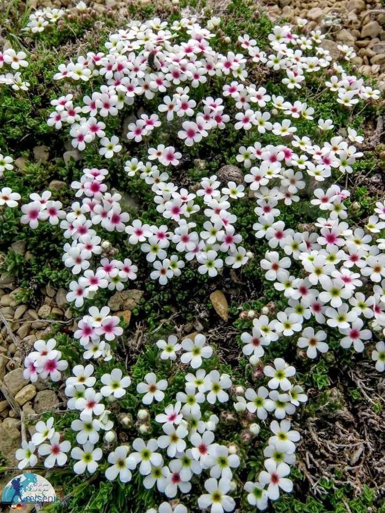 گلهای پرایم رز رنگارنگ