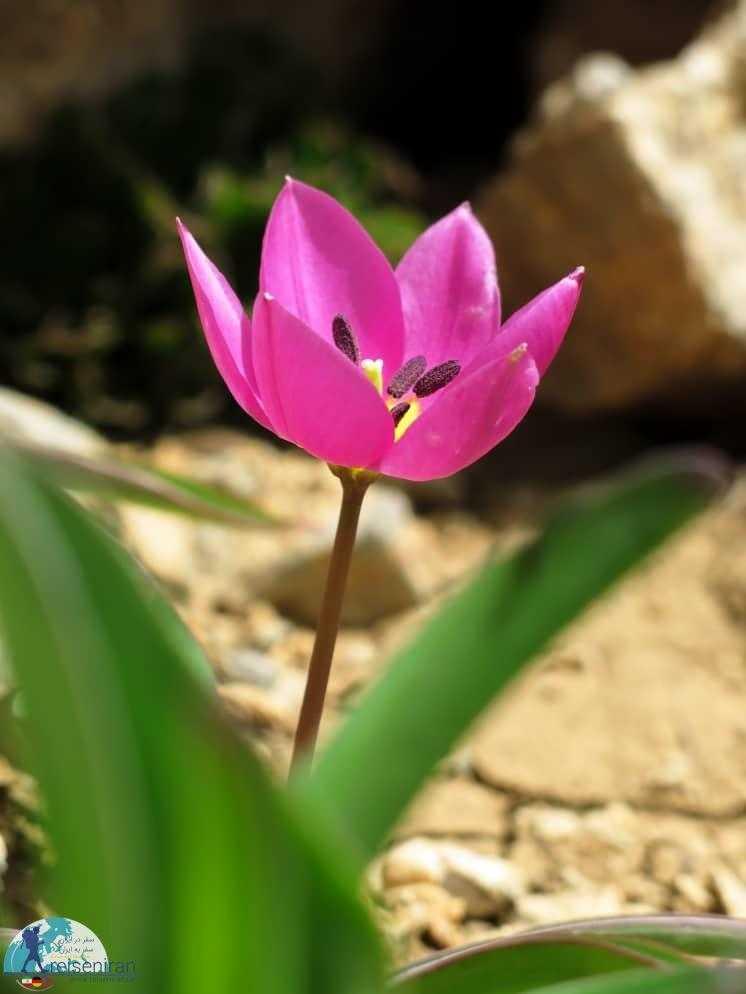 گل تک لپه