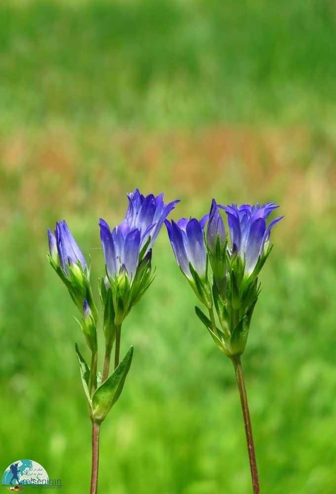 گل سپاسی بی ساقه یا Gentiana acaulis