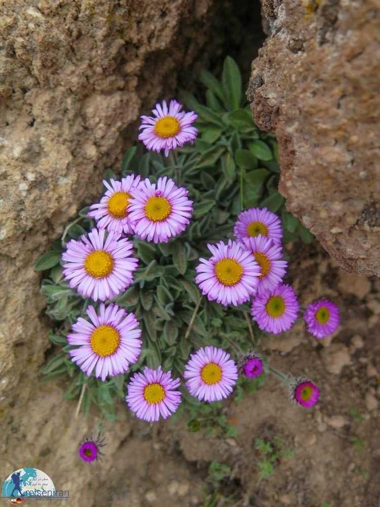 گل مروارید بنفش