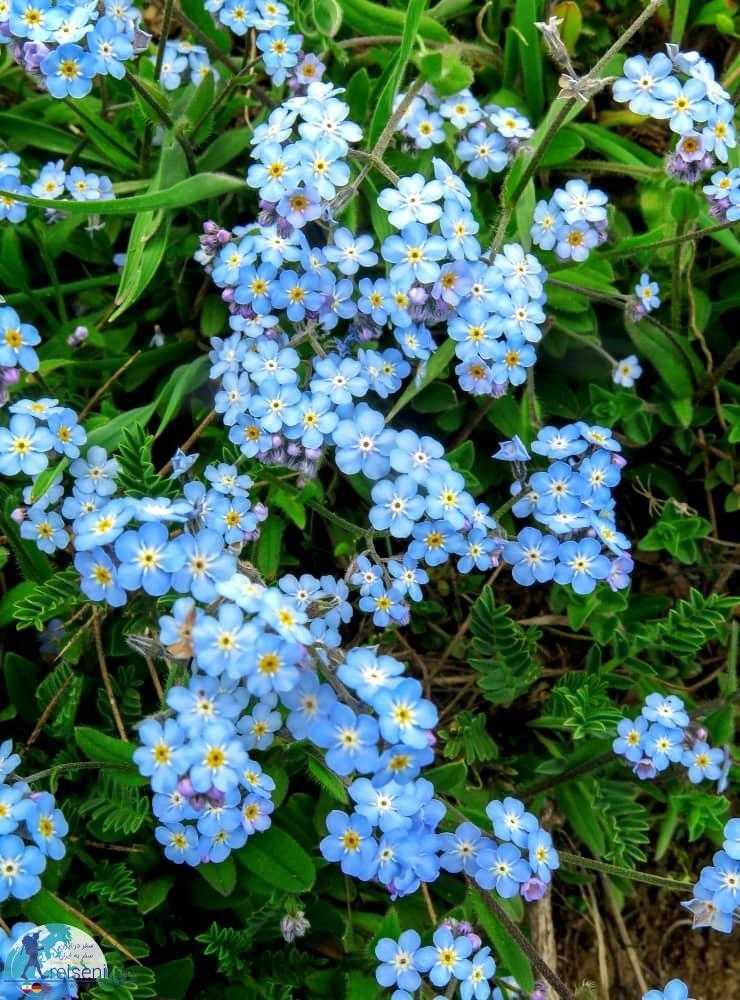 گل های آبی زیبا