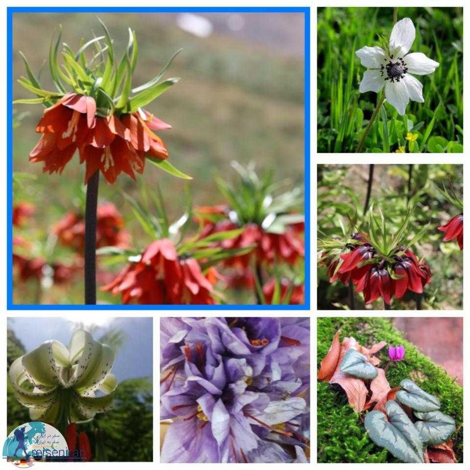 گل های بومی ایران