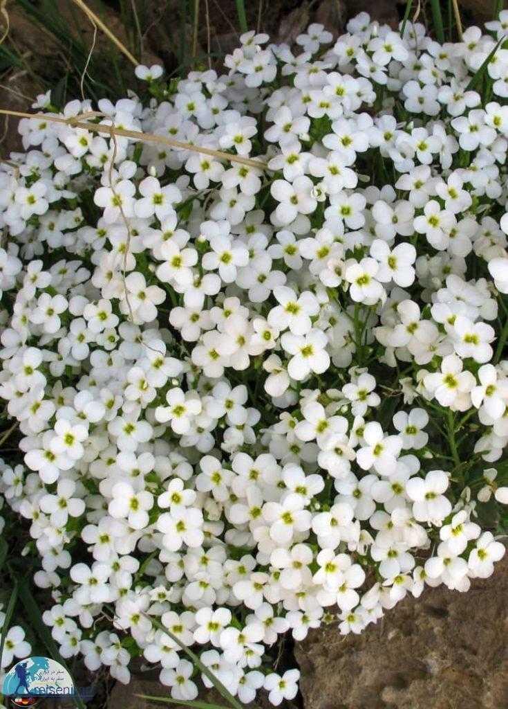 گل پرایم رز یا Primrose