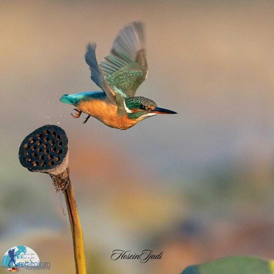 پرنده ماهی خورک