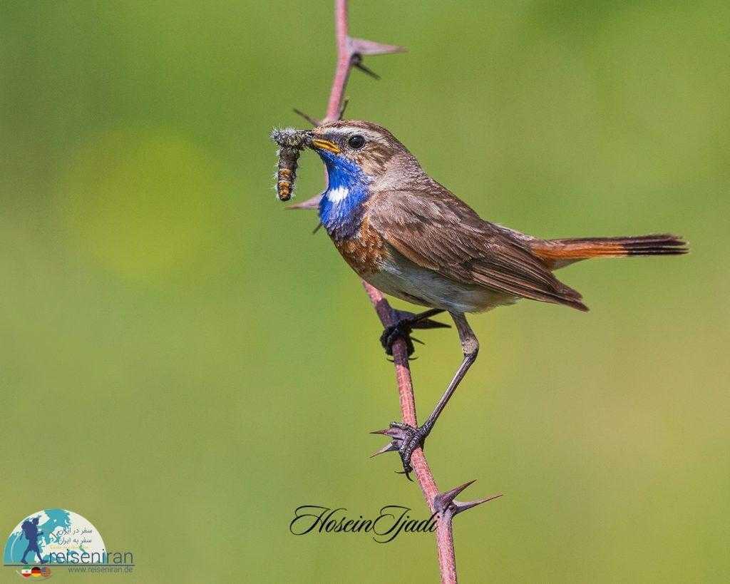 پرنده گلو آبی
