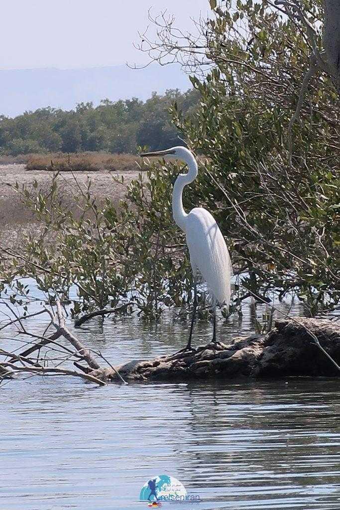 پرندگان جزیره قشم