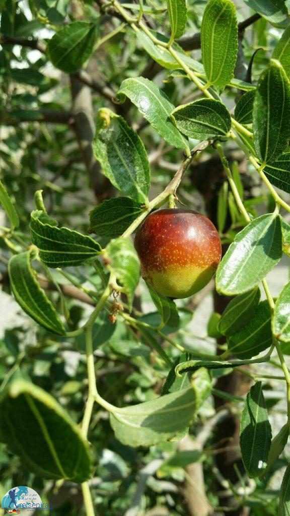 میوه عناب