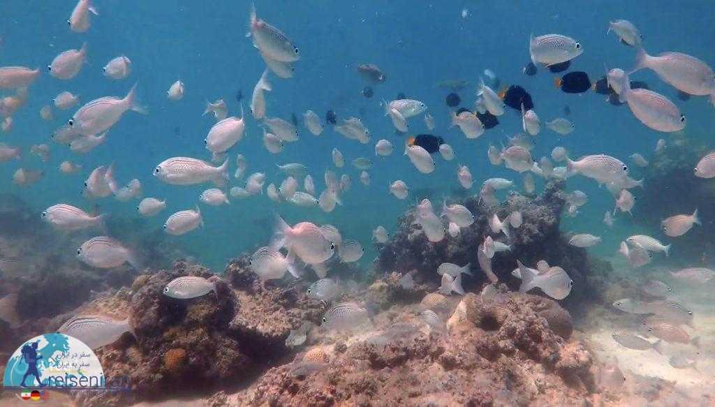 انواع ماهی ها در دنیای زیر آب کیش