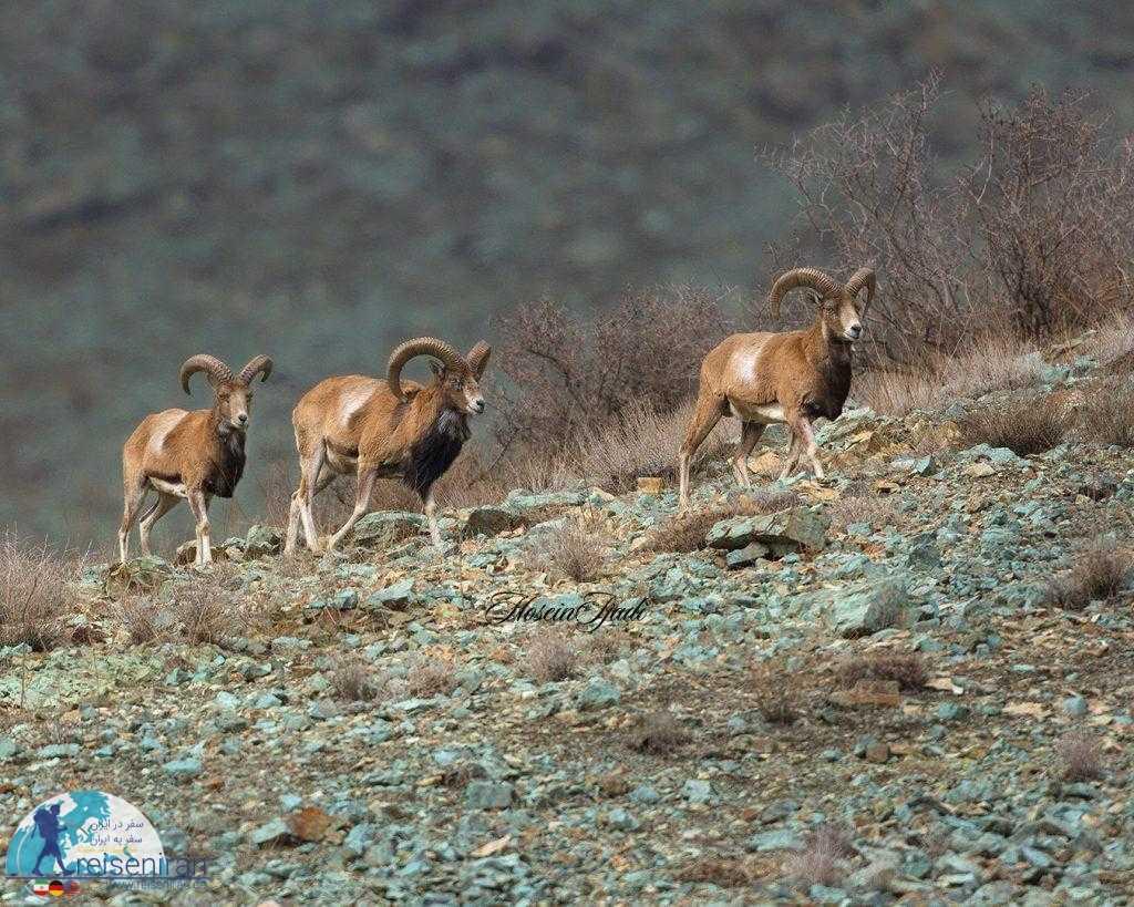 عکس قوچهای البرز مرکزی