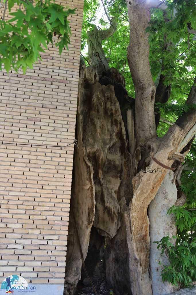 درخت قدیمی وانشان کنار امامزاده
