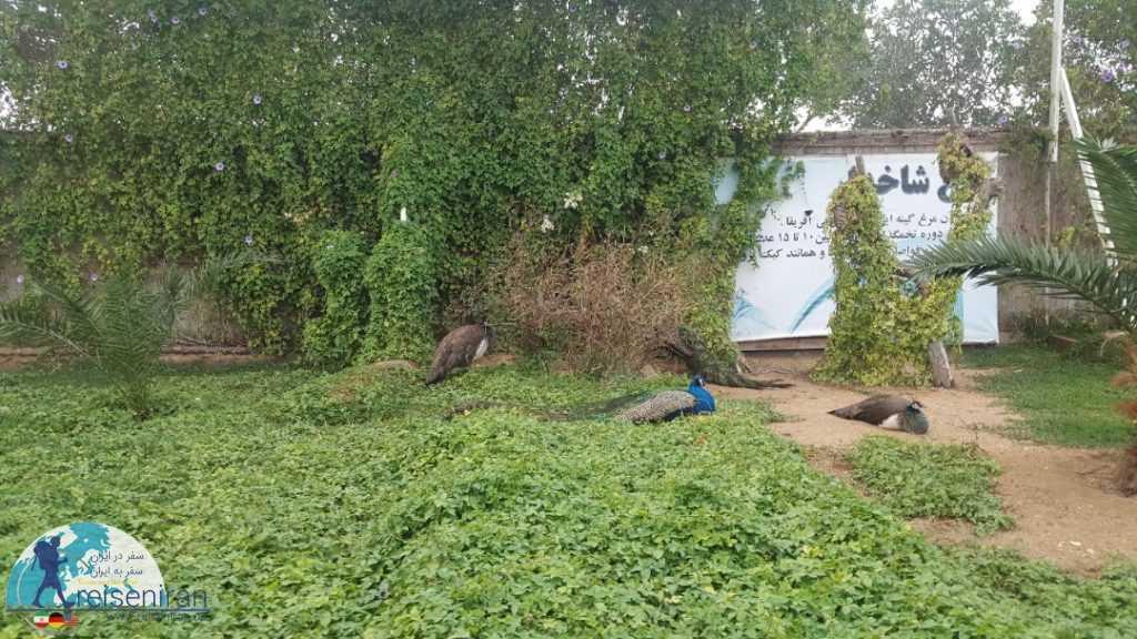 طاووس های پارک نوپک قشم
