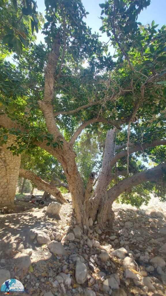 درخت کهنسال مسیر چشمه کلات