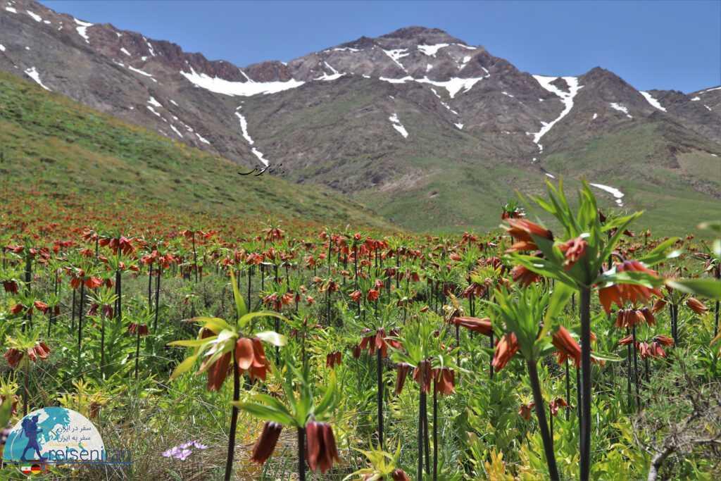 لاله واژگون در طبیعت رشته کوه زاگرس