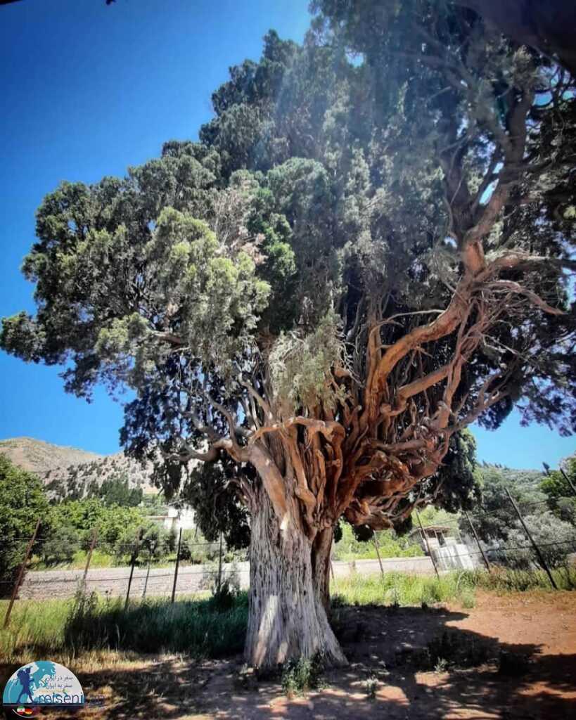 درخت سرو هرزویل منجیل
