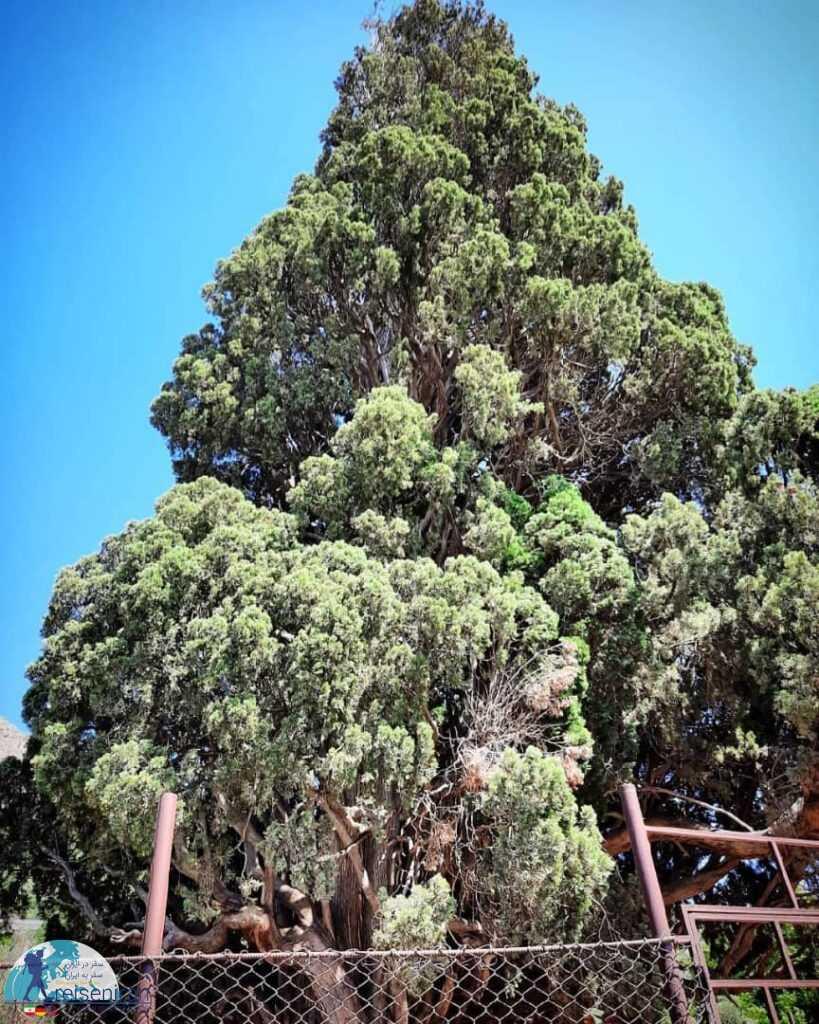 درخت سرو هرزویل گیلان