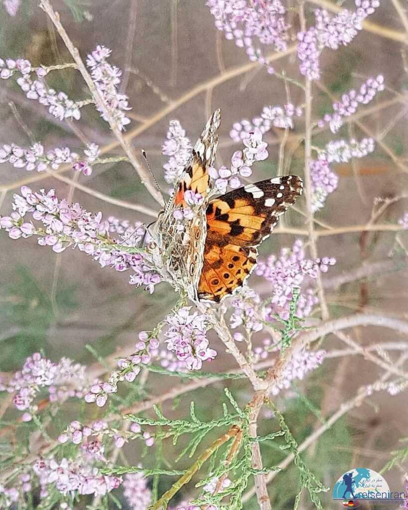 پروانه زیبا در اطراف کویر و دریاچه مصنوعی یزد