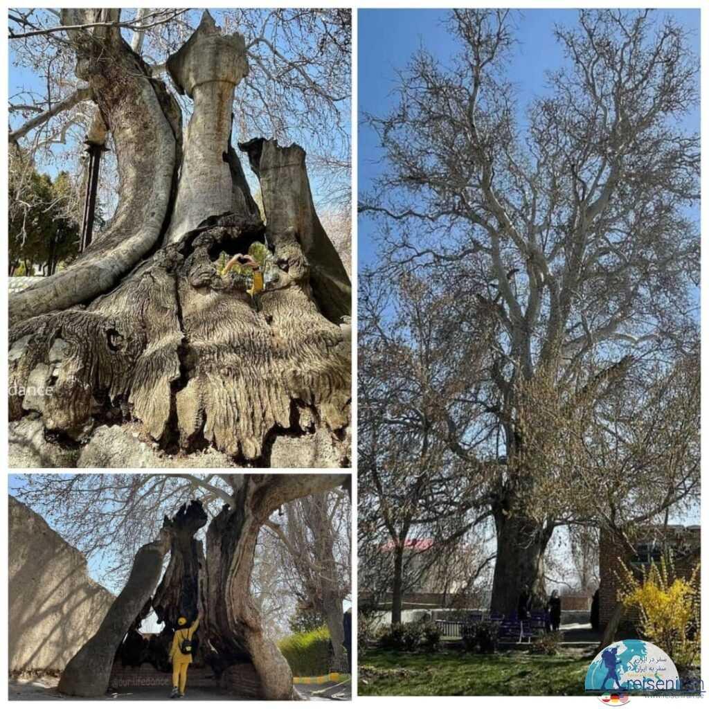 درخت چنار خامنه