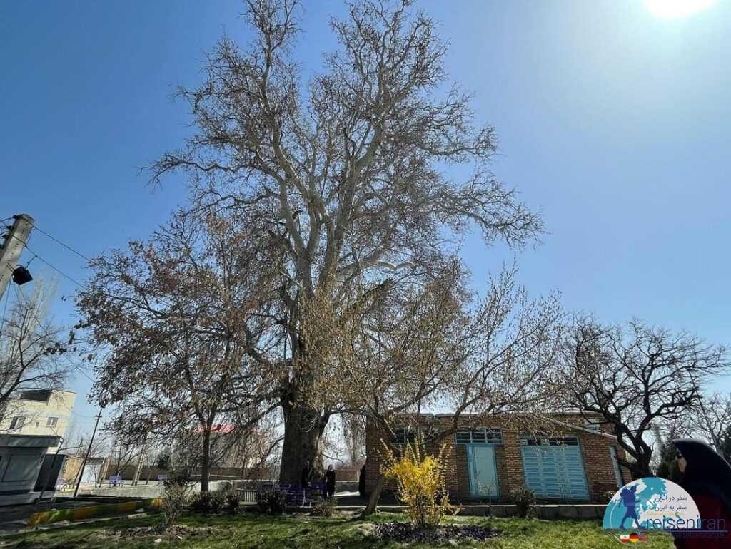 عکس درخت چنار خامنه