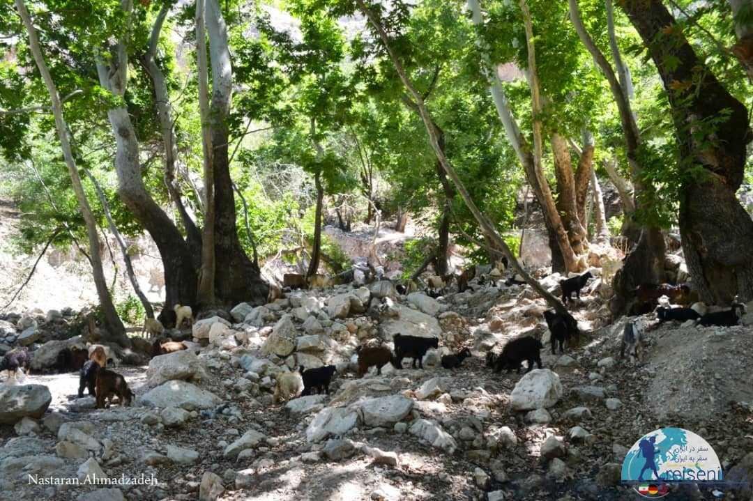 گله های گوسفند در مسیر آبشار وارک